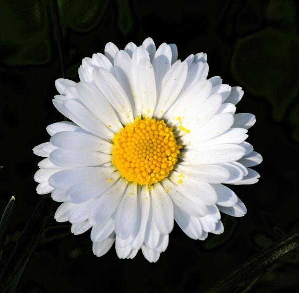 Daisy by ironoctav