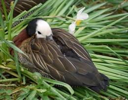 Duckodil