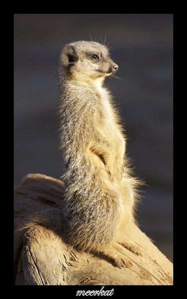 Meerkat by timcordell