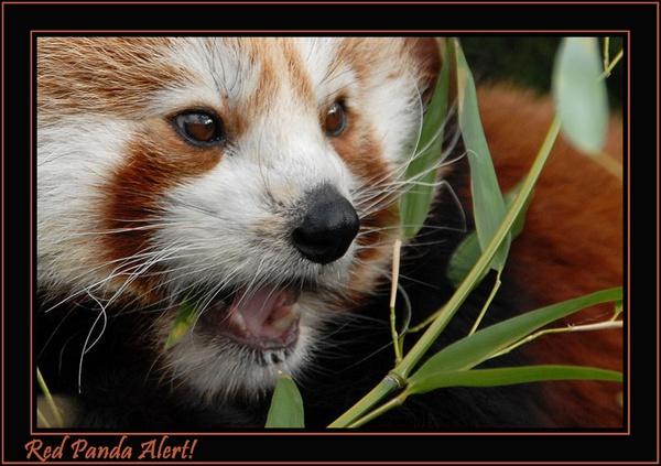 Cute red panda by ITPSnapper