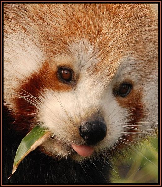 Panda face by ITPSnapper