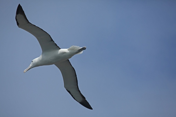Royal Northern Albatross by jamescoates