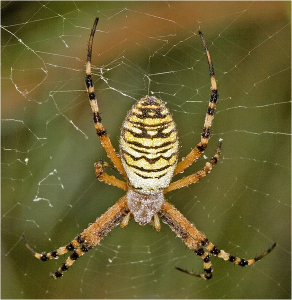 WASP SPIDER by philhad