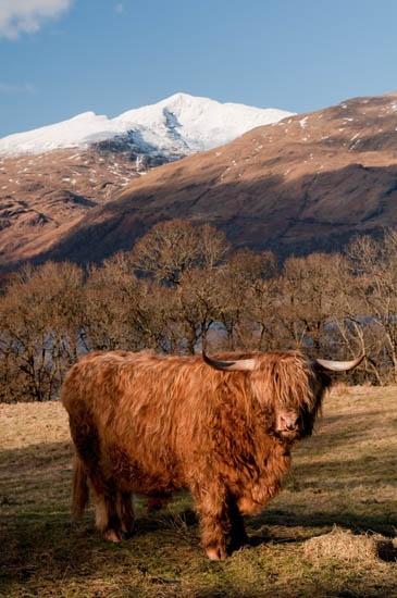 Highland Cattle by RosePhoto