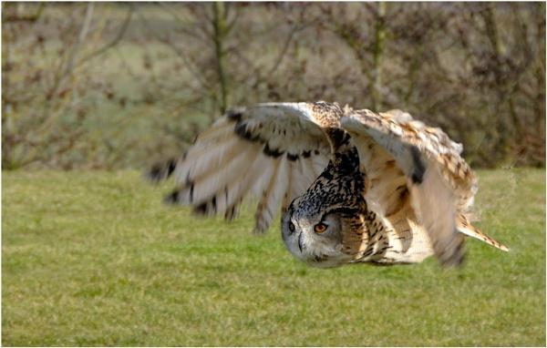 Owl In Flight by Ian Hunter