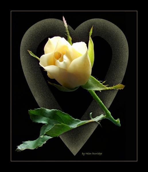 White rose by helenlinda
