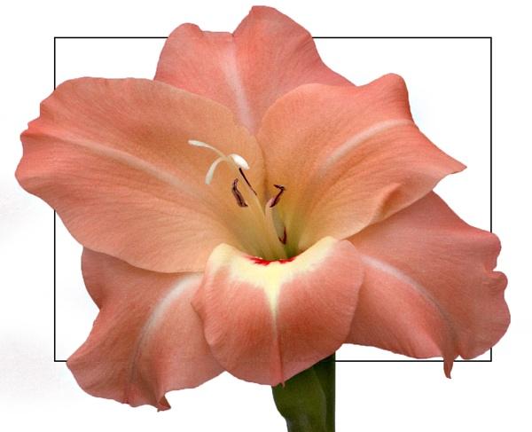 Gladioli Floret by willgriffiths