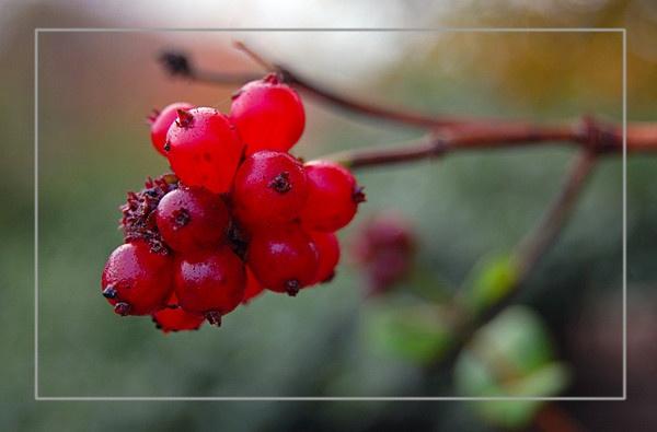 Red in Season by sharlotte51
