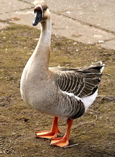 Goosey Goosey by makamgirl