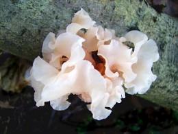 Tripe Fungus