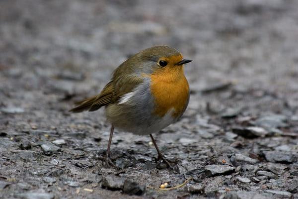 Robin by sally_gorse