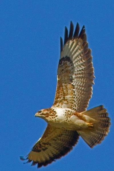 Soaring buzzard by wonkers