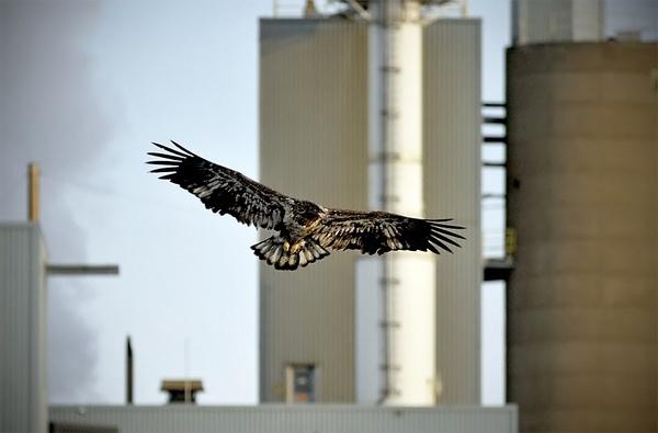 Bald Eagle V -City bird by Oakenshield
