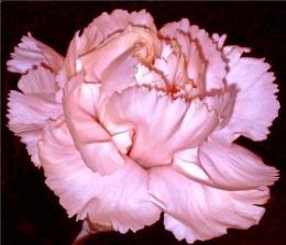 My Valentine Flower.