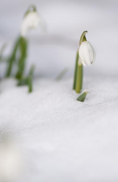Snowdrop by dewie