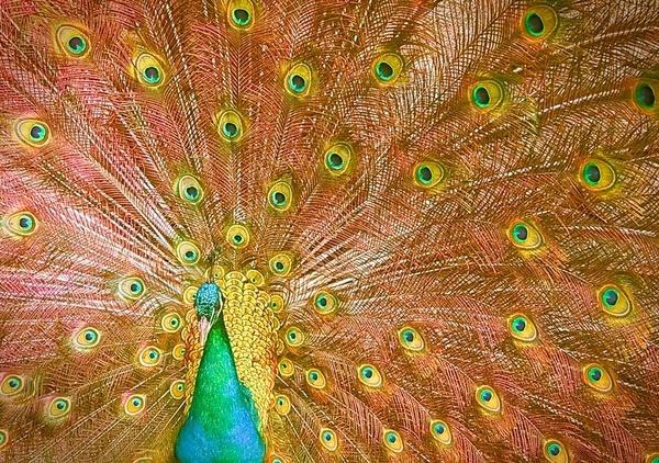 Peacock by OVrtnarHigi