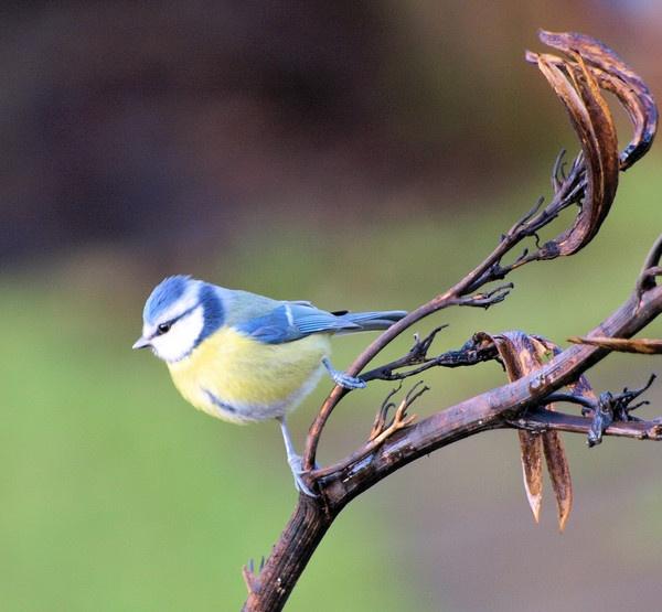 Blue Tit by HMac