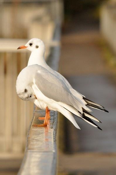black headed gull by wisp