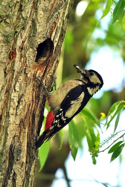 woodpecker by wisp
