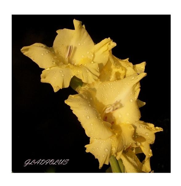 Gladiolus by nancy_borah