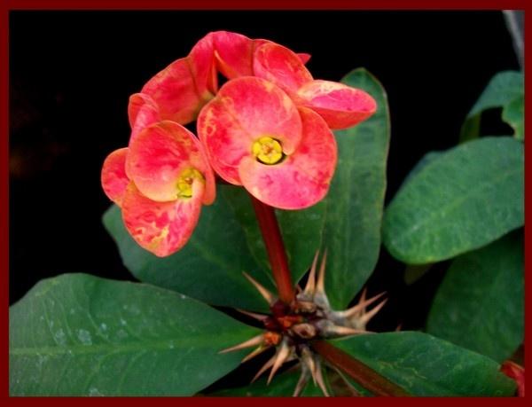orchid flower by nancy_borah