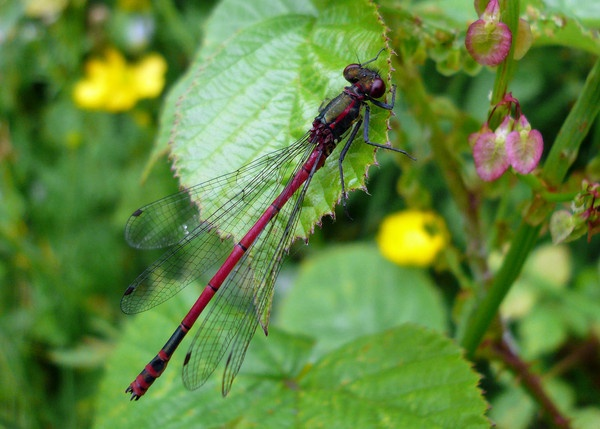Red damselfly by wattley