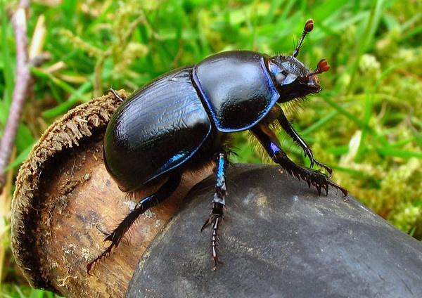 Dor beetle by wattley