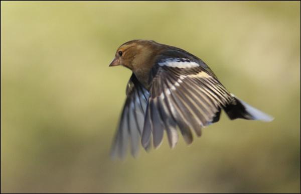 Female Chaffinch in flight by BeiK
