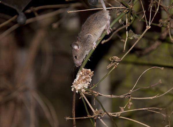 Feeding mouse by sheepdogshady