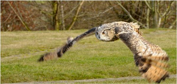 Owl in Flight 2 by Ian Hunter