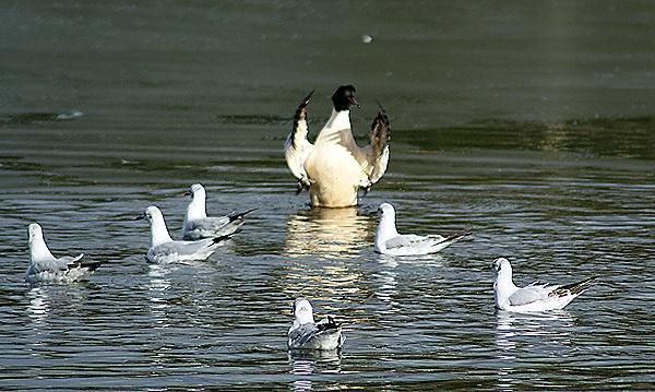 Goosander and the gulls by SiSheff