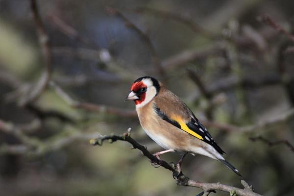 Goldfinch by dawnUK