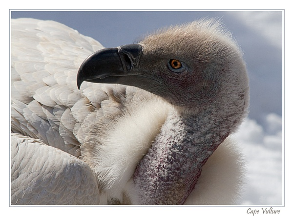 Cape Vulture by KevinFrohlich