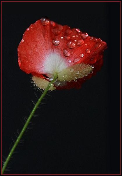 Red Poppy by maryg