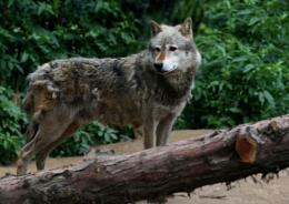 scruffy wolf