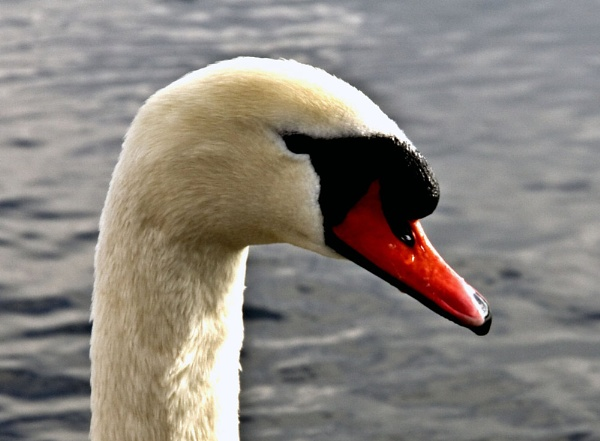 Swan by makamgirl