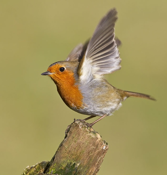 Robin by ROB1972