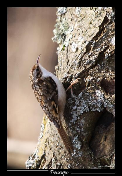 My 1st Treecreeper by SteveMoulding