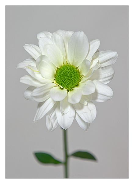Chrysanthemum Daisy by JackAllTog