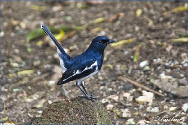 Oriental Magpie Robin 2 by Thushari