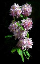 Rhododenrons 5