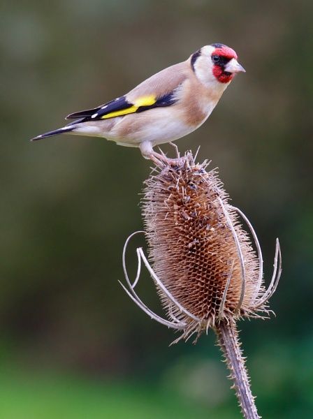 Goldfinch by LukeParkinson