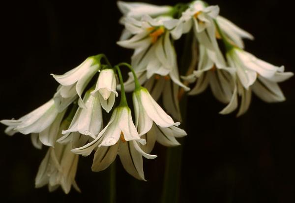 Three Cornered Garlic. ( Allium triquetrum ) by Amanita05
