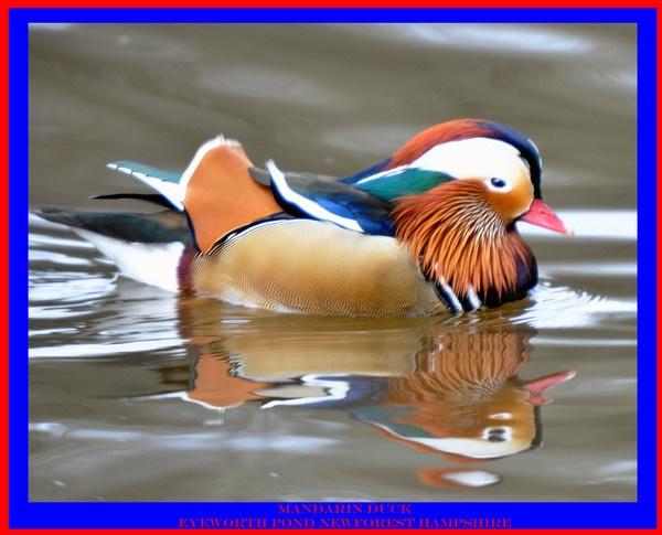 mandarin duck by bobspicturebox