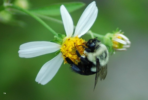 fuzzy bee by tpics