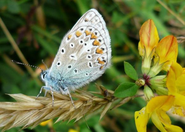 Common blue butterfly by wattley