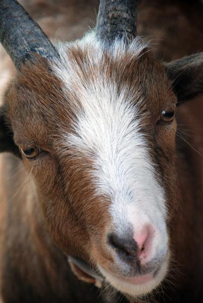 Goat by jasonrwl