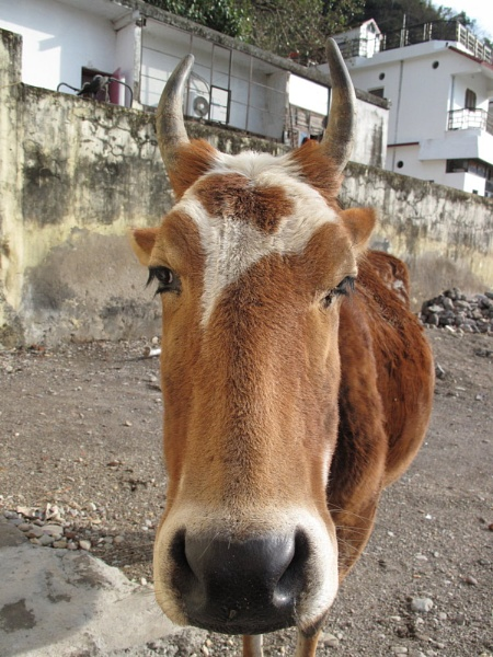 Vache by tomme