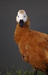Ruddy Shelduck (Tadorna ferruginea)