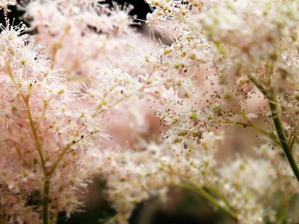 Estilbe - Inverewe Gardens by Rachel81